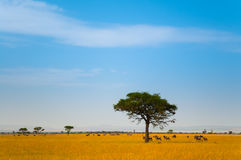 Lone Tree in the field. Lone tree in the grass land of Serengeti national park on a sunshine day Royalty Free Stock Photo