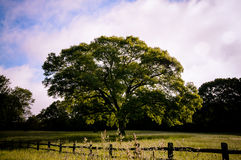 Lone tree in field. Lone tree with grassy field with fence Royalty Free Stock Image