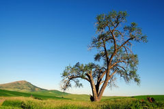 Lone tree in the field. A lone tree with hills in background at Palouse area,  Washington, united states Stock Photo