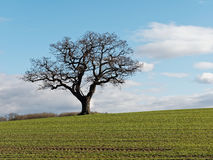 The Lone Tree. Lone tree in a field on the opposite side of Melbourne Pool from the Hall in early spring Royalty Free Stock Photo