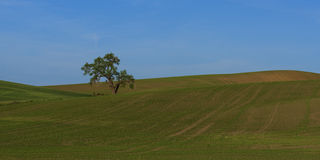 Lone Tree in the Field. Palouse with its beautiful rolling hill is a very popular place in Eastern Washington Stock Images