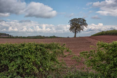 Lone tree in field. A single tree standing in an english agricultural landscape of a ploughed field with a blue cloudy skewed a hedge in the foreground Stock Images