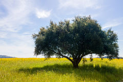 Lone tree in a field with soft clouds in a blue sky Royalty Free Stock Photography