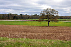 Solitary Tree in field Stock Photo