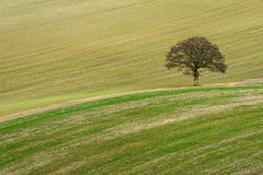Scarified field with lone Oak tree Stock Photos