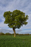 Lone Tree in A Field Stock Photos
