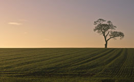 Lone tree in field at sunset. Scenic view of lone tree in countryside field at sunset Royalty Free Stock Photo