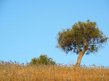 Lone tree in Field. Tree in field of wild flowers against cloudless blue sky, Andalucia Royalty Free Stock Photo