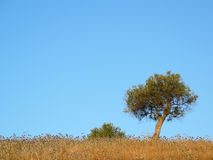 Lone tree in Field. Tree in field of wild flowers against cloudless blue sky, Andalucia Royalty Free Stock Photos