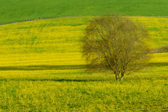 Lone tree in a field of yellow flowers. A California field of yellow flowers with a single tree Stock Photos