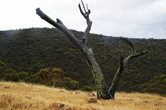 Lone tree Fleurieu Peninsula Royalty Free Stock Photo