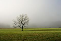 Lone Tree in Foggy Field. A tree stands alone, it's background obscurred by morning fog. Cades Cove, Smoky Mountains NP, USA royalty free stock photography