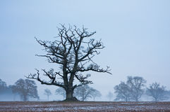 Lone tree in a frosty field at twilight Stock Image