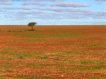 Lone tree on gibber plain Stock Photos