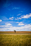 Lone tree in a golden landscape. Beautiful nature background of a lone tree in a wide open golden landscape under an azure blue graduated sky with fluffy white Royalty Free Stock Photography