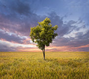 Lone tree on a golden rice field. Beautiful landscape on sunset with a lone tree on a golden rice field Royalty Free Stock Photos
