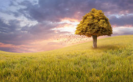 Lone tree on a golden rice field. Beautiful landscape on sunset with a lone tree and falling leaves on a golden rice field Royalty Free Stock Images