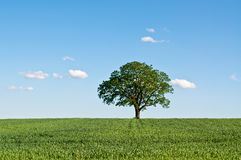 Lone Tree in a Green Field. A lone tree stands in a green farm field with blue sky and clouds in the background Stock Images