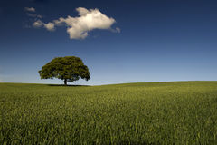 Lone tree in green field. Scenic view of lone tree in green field with blue sky and cloudscape background Royalty Free Stock Image