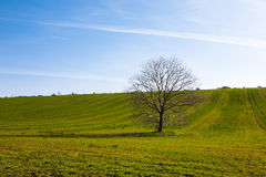 Lone tree and green field Royalty Free Stock Images