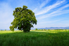 A lone tree in a green field. Near in Valensole.Provence,France Stock Photo
