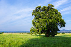 A lone tree in a green field. Near in Valensole.Provence,France Royalty Free Stock Photography