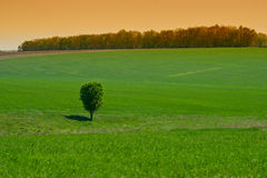Lone tree in a green field Stock Image