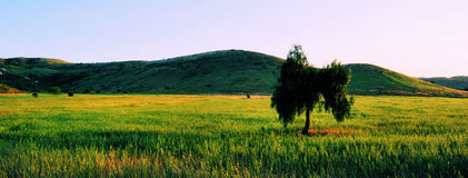 Lone Tree Green Field Sunset. Tree in poway california field in the spring at sunset stock image