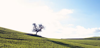 Lone Tree in Green Meadow Royalty Free Stock Images