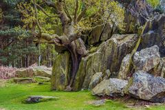 Lone tree Splitting Boulders in Half. A lone tree growing from some massive rocks splitting them in 2 royalty free stock image