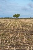 Lone tree in a harvested corn field Stock Photo