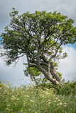 Lone Tree on the hillside Royalty Free Stock Images