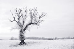 Lone tree in hoar frost Stock Photography