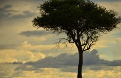 Lone Tree in Kenya. Lone tree with cloud build up in the background Royalty Free Stock Photos