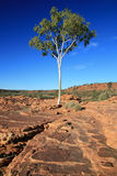 Lone Tree - Kings Canyon, Australia Stock Images