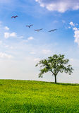Lone tree landscape and birds Royalty Free Stock Image