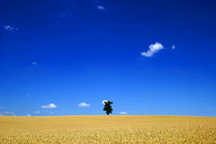 A lone tree in a large corn field stock photography