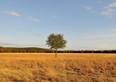 Lone tree in late afternoon sun Royalty Free Stock Photo