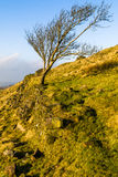 Lone Tree Leaning. On the Hill Side Stock Image