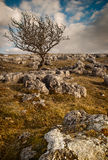 Lone Tree. A lone tree on a limestone pavement in the Yorkshire Dales Royalty Free Stock Photography