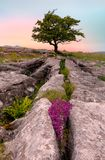Lone tree and Limestone pavement in Yorkshire Dales. Lone tree and Limestone pavement at Winskill Stones Nature Reserve, near Settle, Yorkshire Dales, North Stock Photography