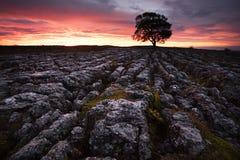 Lone Tree at Malham Stock Photo