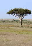 Lone tree in  the Mara, Kenya Royalty Free Stock Photo
