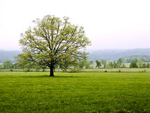 Lone Tree in meadow in front of mountains Stock Photo