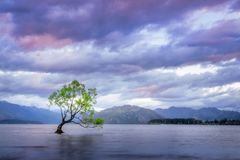 Lone Tree in the middle of Lake Wanaka at Sunset. Sunset at Wanaka Lake with a lone willow tree just off the shore of the lake. Wanaka is a popular ski and Stock Photos