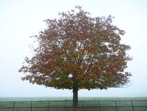 Lone Tree in Mist in the Countryside Stock Photography