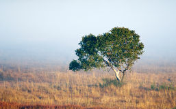 Lone tree in mist Stock Images