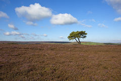 Lone tree with moorland. A lone pine tree on a windswept heather moorland in late summer on the north york moors Stock Photography