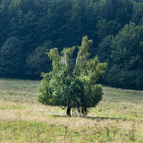 A lone tree on a mountain meadow Stock Images