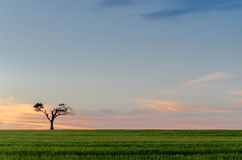 Lone tree. A lone tree silhouetted on the skyline against a background on an evening sky Stock Photography